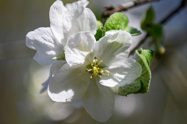 봄 날 동안 피 사과 나무 흰 꽃의 매크로 근접 촬영