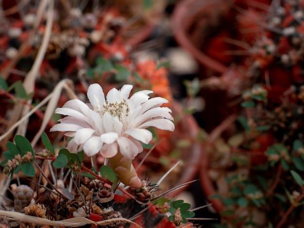매크로 근접 촬영 옅은 분홍색 gymnocalycium 선인장 개화 꽃