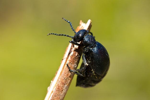 Macro closeup shot of a black weevil perched on a twig