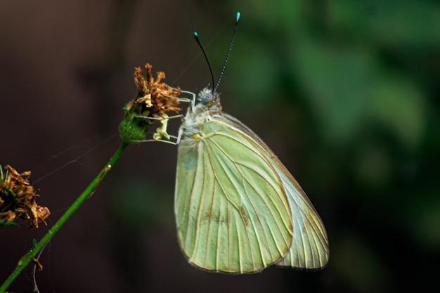 Colpo a macroistruzione del primo piano di una farfalla di cavolo cappuccio che si siede su un fiore appassito