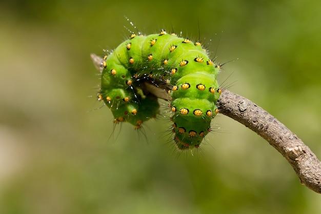 小枝に乗った皇帝蛾としても知られるsaturniapavoniaの幼虫のマクロクローズアップショット Premium写真