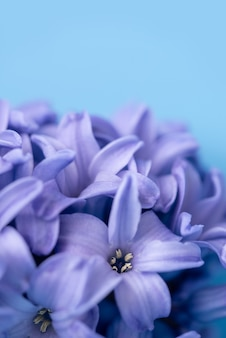 Macro closeup view of hyacinth violet spring flowers.