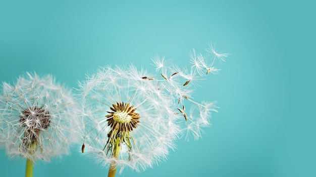 Macro dandelion on blue