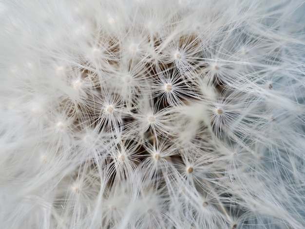Макрос одуванчика семян фон. крупный план белого, мягкого и воздушного цветка.