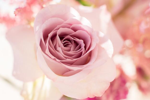 Macro delicate fresh pink rose flower