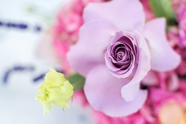 Macro delicate fresh violet rose flower