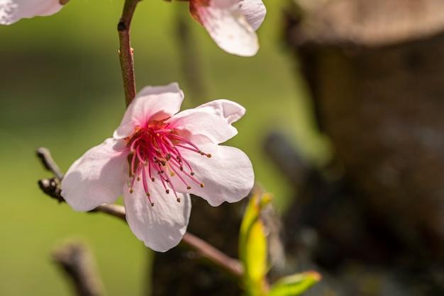봄 시간에 복숭아 꽃의 매크로 세부 사항