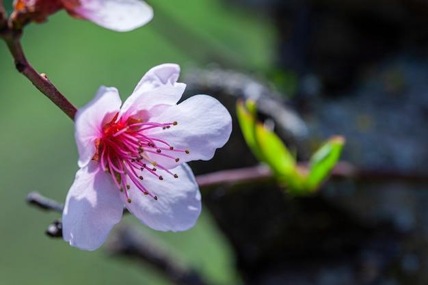 봄에 꽃이 만발한 복숭아 꽃의 매크로 세부 사항
