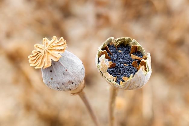 Макро детали семян мака внутри растения