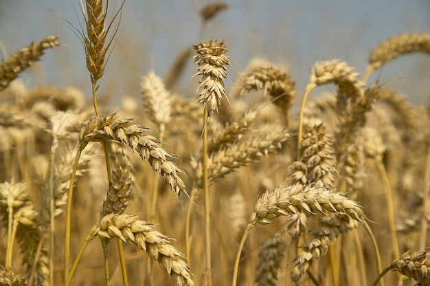 Macro detail of some ears of ripe barley and ready for harvesting. photos with the highest level of detail.