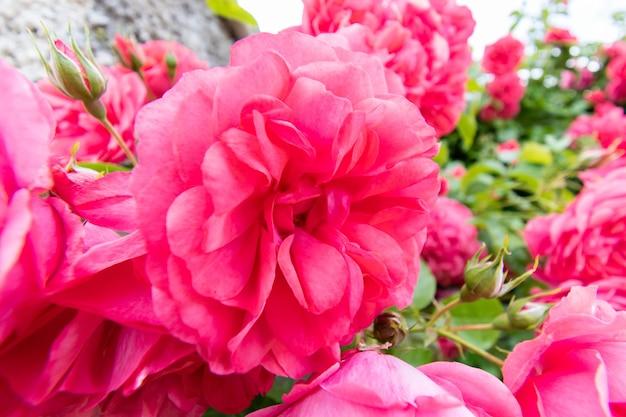 Макро детали розового цветка розы в летнем саду