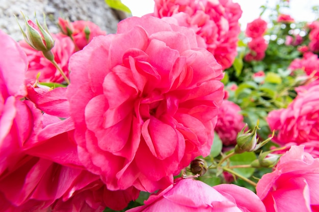 Macro details of pink rose flower in summer garden