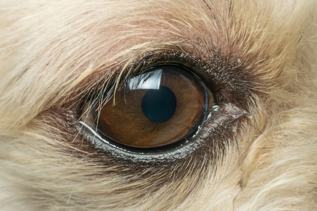 Macro of dog eye mixed breed with shih-tzu, pomeranian and poodle, beige color