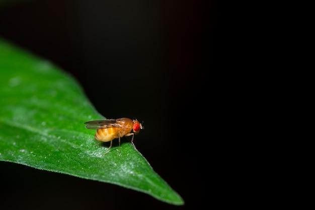 Macro drosophila on leaf