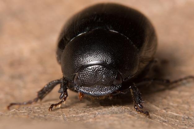 Макро-навозный жук