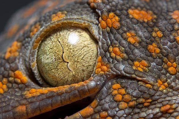 Macro eye gecko