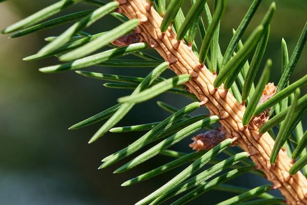 Macro fir tree leaves with sun