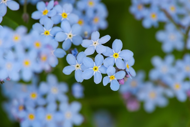 Macro fresh spring purple blue forget me not or myosotis flowers