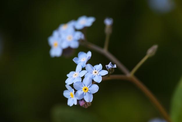 매크로 신선한 봄 보라색 파란색은 나를 잊지 않거나 myosotis 꽃을 잊지