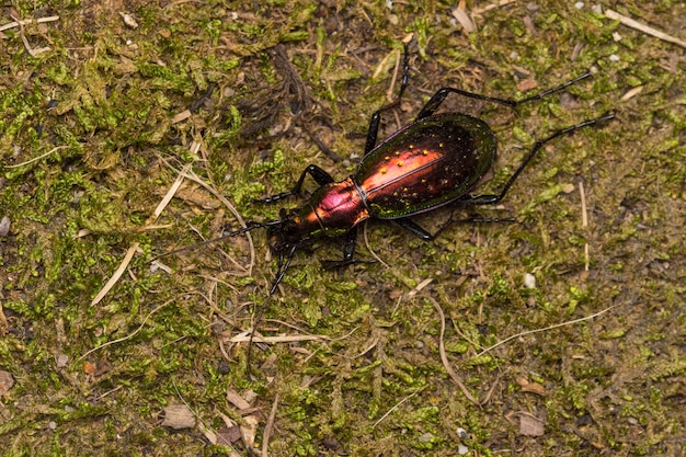 Macro of golden beetle, carabus rutilans, spain wildlife.