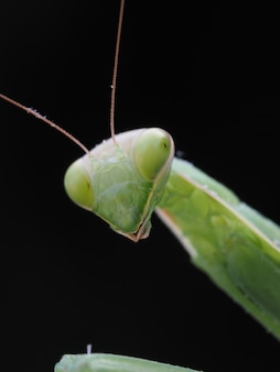 Macro grasshopper head on a black background