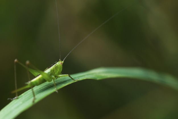 Macro of a grasshopper standing on a green leaf