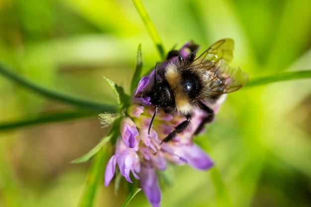 Макро медоносные пчелы шмель питается нектаром на фиолетовом цветке