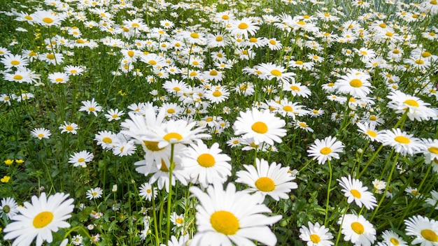 Macro image of beautiful flower bed with growing chamomiles. perfect background of meadow covered with white flowers