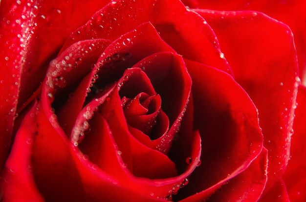 Macro image of dark red rose with water droplets. extreme close-up with shallow dof.