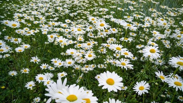 Chamomiles 성장 아름 다운 꽃 침대의 매크로 이미지. 흰 꽃으로 덮여 초원의 완벽한 배경