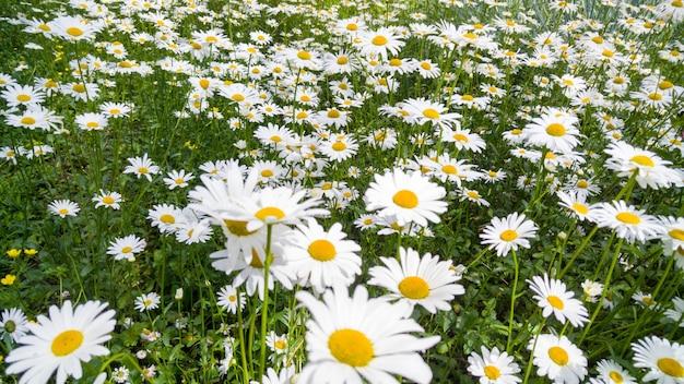カモミールが育つ美しい花壇のマクロ画像。白い花で覆われた牧草地の完璧な背景