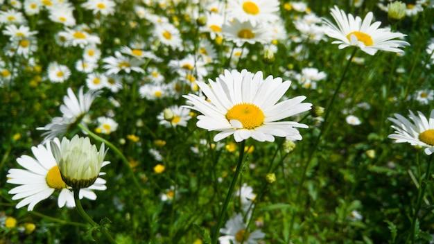 공원에서 아름 다운 초원의 매크로 이미지는 밝고 화창한 날에 카모마일 꽃을 많이 덮여. 꽃이 만발한 공원과 완벽한 자연 배경