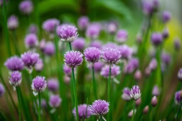 Макро-изображение красивых фиолетовых цветков зеленого лука, цветущего весной.