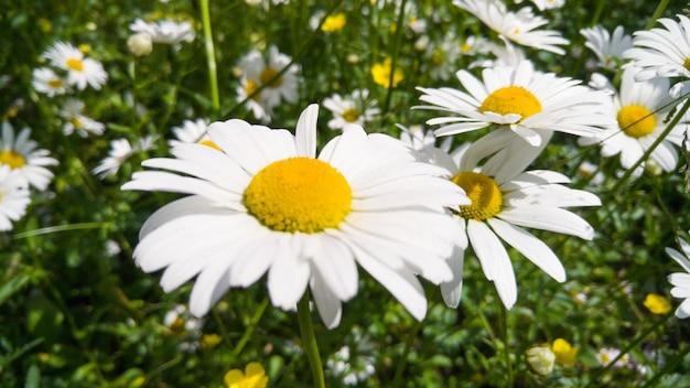 공원에서 큰 풀밭의 매크로 이미지 성장 카모마일 꽃으로 덮여있다. 흰색 꽃 배경