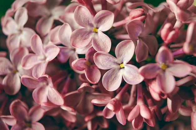 피 라일락 보라색 꽃 꽃 배경 봄 배경의 매크로 이미지