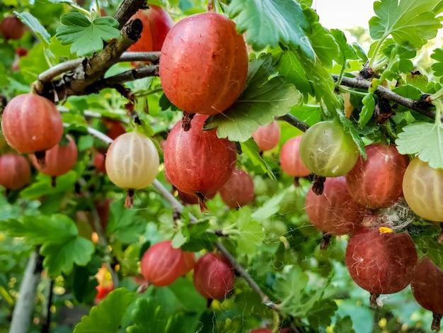 정원의 나뭇가지에 매달려 있는 빨강 및 녹색 구스베리의 매크로 이미지. 신선하고 잘 익은 딸기 재배
