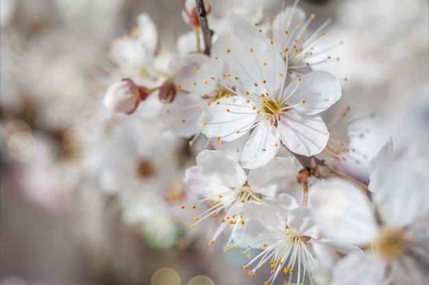 Макро изображение весенних цветов вишни, абстрактные мягкие цветочные