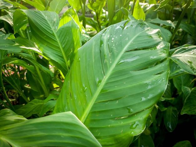 雨上がりの熱帯植物の湿った緑の葉に水滴がぶら下がっているマクロ画像