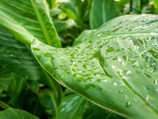 비가 온 후 열대 식물의 젖은 녹색 잎에 매달려 있는 물방울의 매크로 이미지