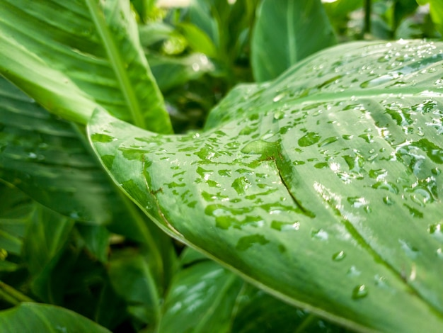 Macro image of water droplets hanging on wet green leaves of tropical plant after rain