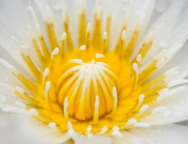 Макро-лотос или водяная лилия фон