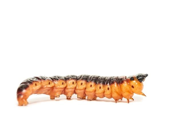 흰색으로 격리된 큰 노란색 주황색 염소 나방 애벌레(cossus cossus)의 매크로 낮은 각도 전면 보기