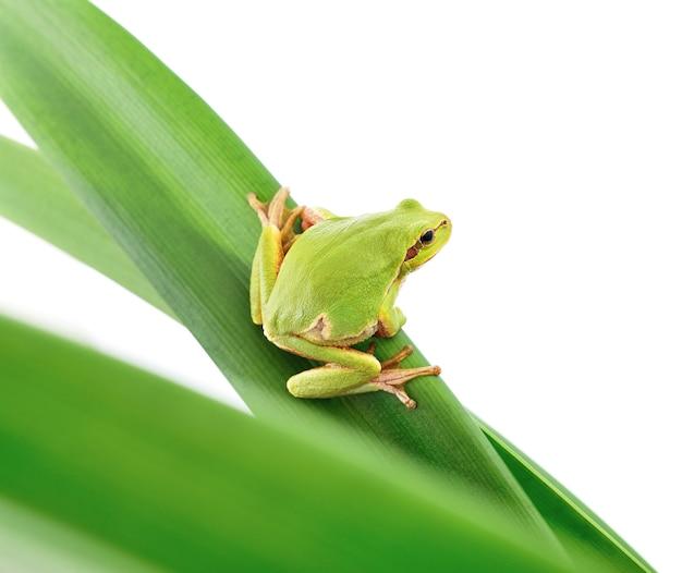 Макрос древесной лягушки, сидящей на листе, изолированном на белом