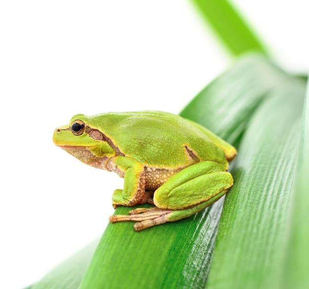 Макрос древесной лягушки, сидящей на изолированном листе