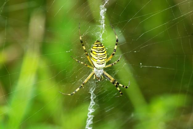 そのウェブ上のコガネグモのクモのマクロ