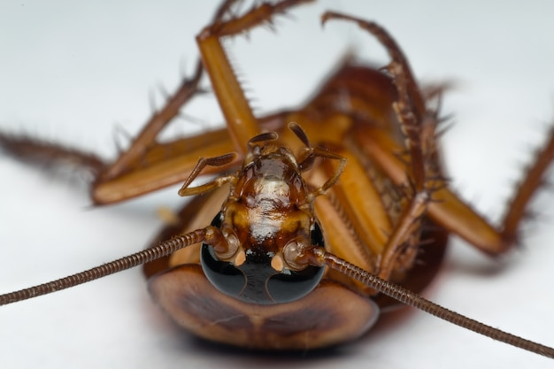 Макрос тараканов насекомых порядка blattodea