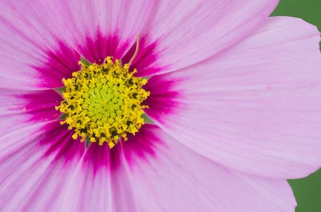 노란색과 분홍색 색상의 코스모스 꽃의 매크로입니다.