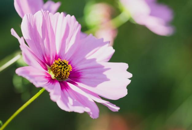 黄色とピンク色のコスモスの花のマクロ。 Premium写真