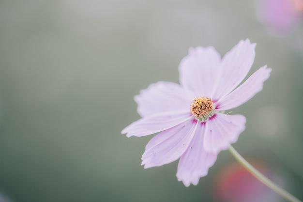 コスモスの花のマクロ