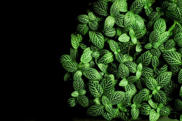 緑の栽培植物のマクロ。緑の植物の小さな葉